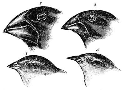 Finker med forskellige næb