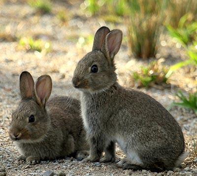 Vilde kaniner