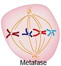 Metafase125