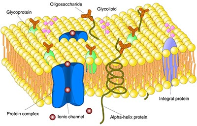 Cellemembran