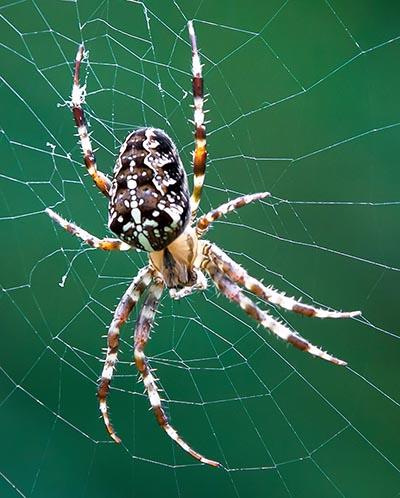 Edderkop, spindler