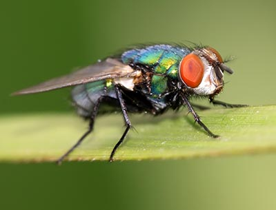 Flue, insekt