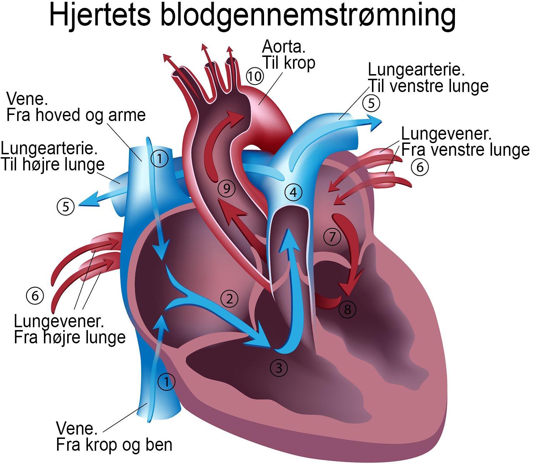 hjerte blodvej1500