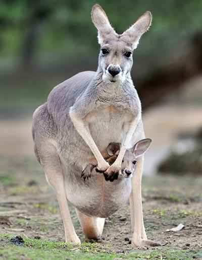 Kænguruen er et pungdyr
