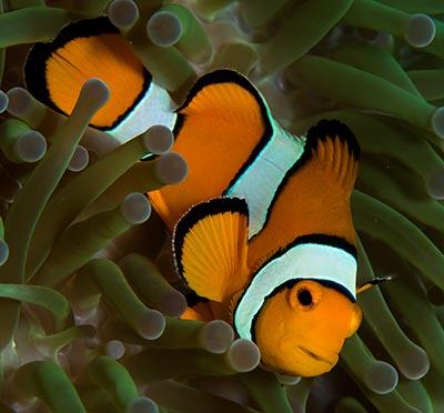 Klovnfisk og giftig søanemone