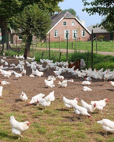 Fritgående høns