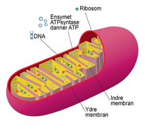 mitokondrier400
