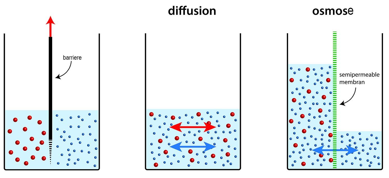 Diffusion og osmose hvor stoffer transporteres fra områder med lav koncentration til områder med lav koncentration.