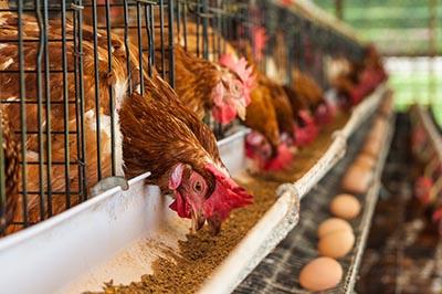 shutterstock_122934682 landbrug høns
