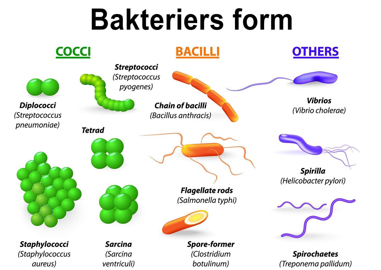 Her ses inddelingen af bakterier efter form.