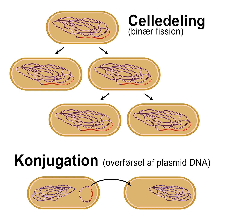 Celledeling og knojugation