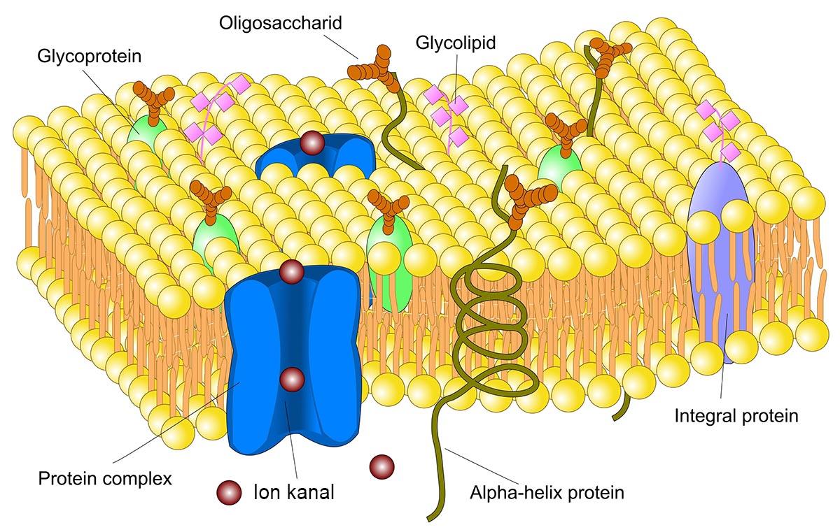 Klik for at forstørre. Cellemembranen med mange forskellige molekyler i - og på overfladen af cellen.