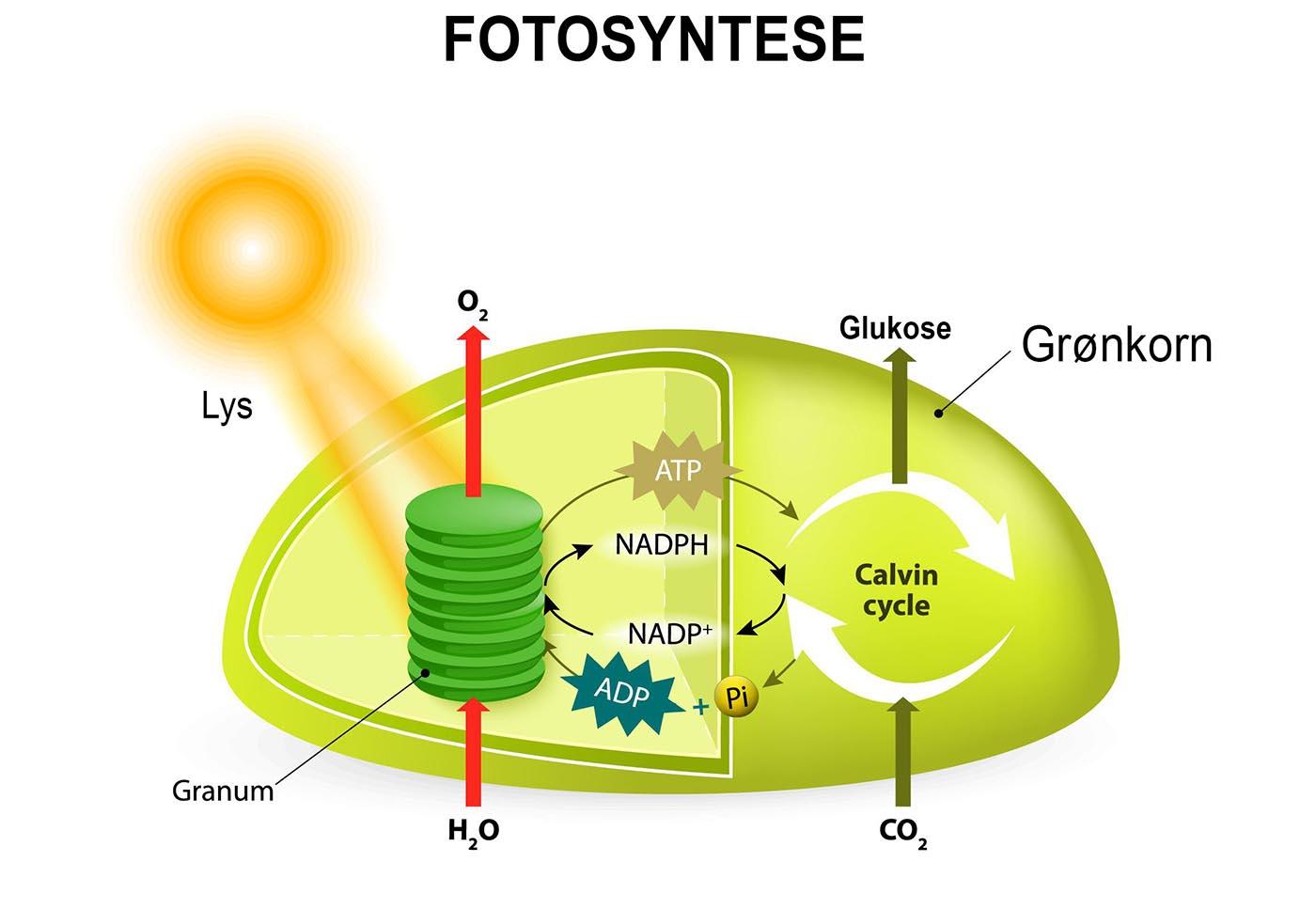 Fotosyntese i grønkorn organeller hos planter