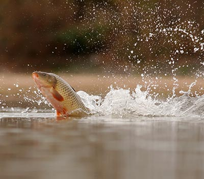 shutterstock_29488885 invasiv art kinesiske carpe fisk