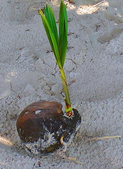 Kokos frugt (kokosnød), der spirer på strand.