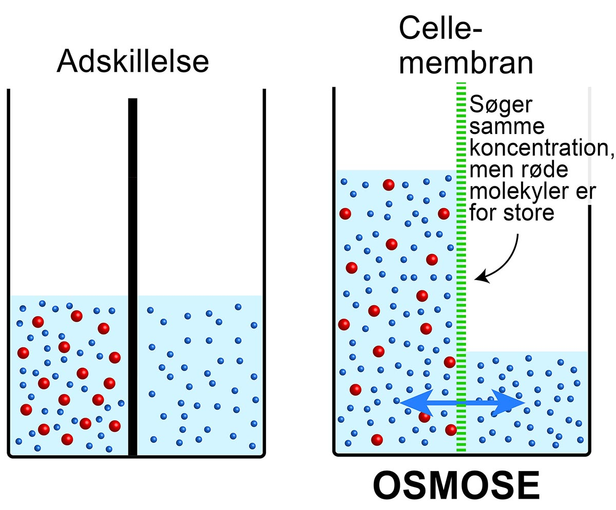 Osmose. Klik for at forstørre.