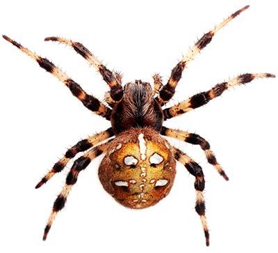 Edderkop (spindler), 8 ben, 2 delt krop