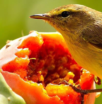 Fugl spiser frugt med frø