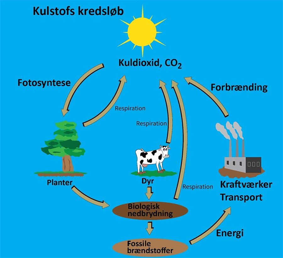 Kulstofs kredsløb. Klik for at forstørre