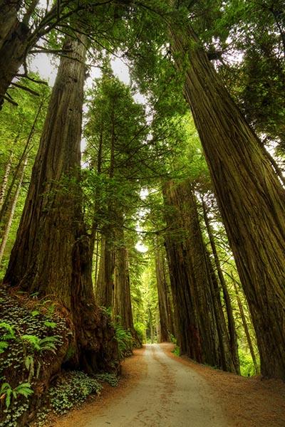 Secoya træet, bliver over 100 meter højt