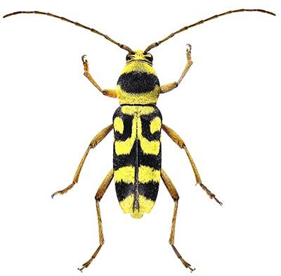 Insekt, 6 ben, 3 delt krop, følehorn