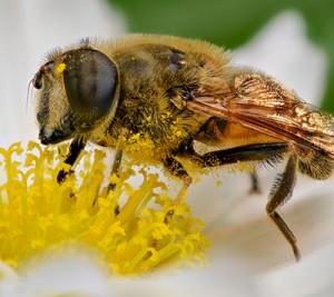 Insekt overfører pollen