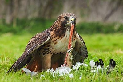 shutterstock_231982306 dyr fugl rovfugl