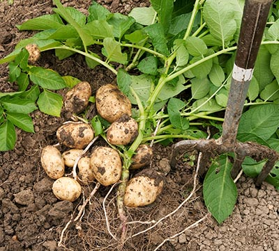shutterstock_32139679 rødder kartoffel