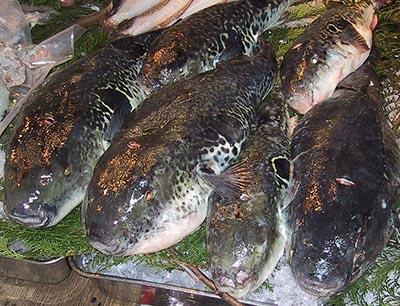 Fuga fisk japansk pufferfisk 400 px