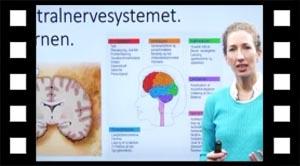 Hjernebarken, lillehjernen og hjernestammen.