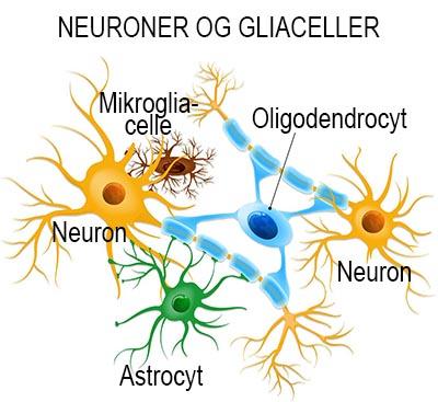gliaceller stor opl2 400px