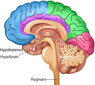 hjerne3