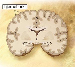 hjernebark høj opl