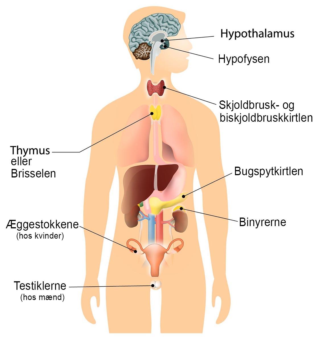 Endokrine kirtler hvor celler producerer hormoner