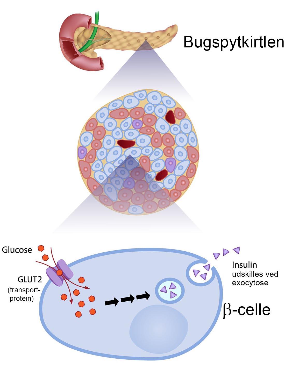 Sammenhængen mellem blodets glucosekoncentration og beta-cellernes udskillelse af insulin. Klik for at forstørre.