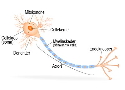 shutterstock_166153934 nervecelle Endelig version 400px