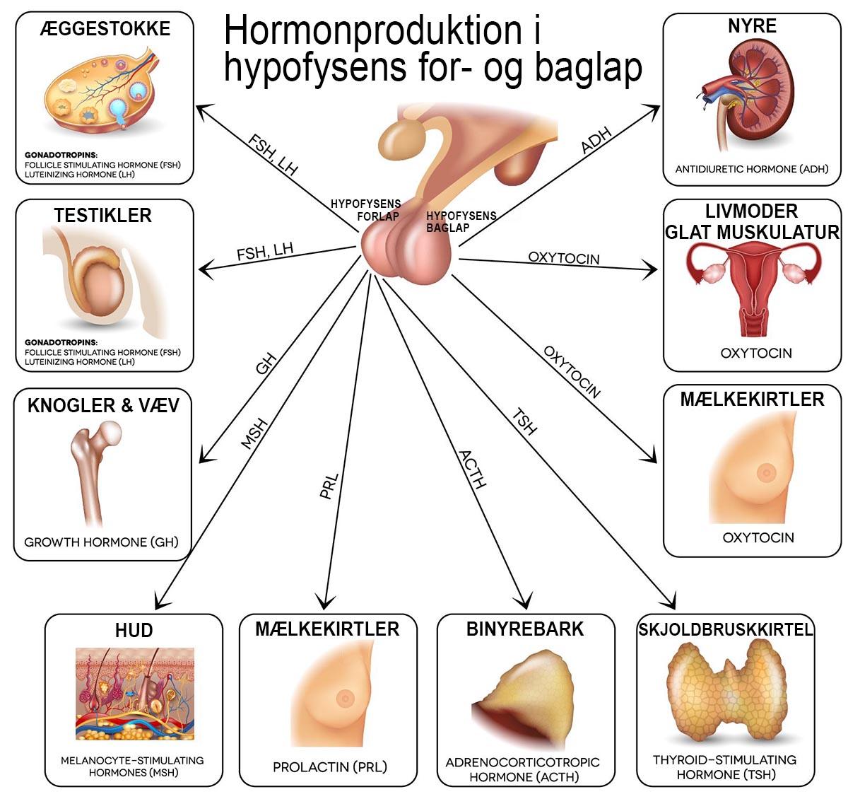 Hormonproduktion i hypofysens forlap og baglap. Klik for at forstørre.