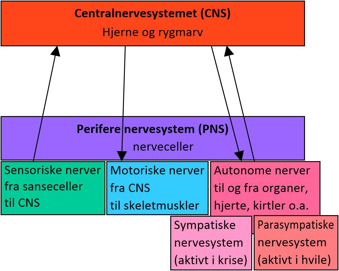 Oversigt over nervesystemet. Klik for at forstørre.